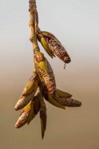 Despre mugurii de plop negru (Populus nigra) și capacitatea antimicrobiană